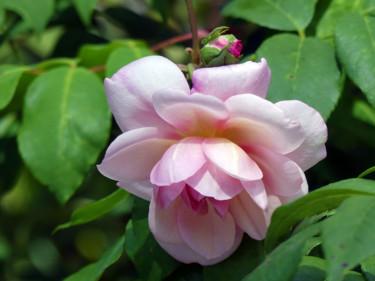 Rose d'Orsan